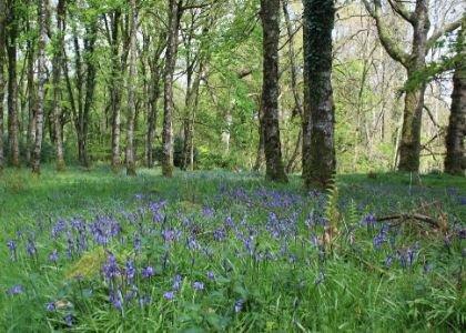 Colebrooke Bluebells