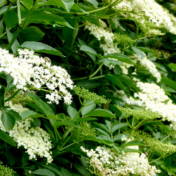 Elderflower.png