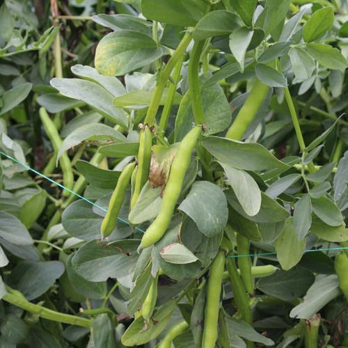 Growing Broadbeans.png