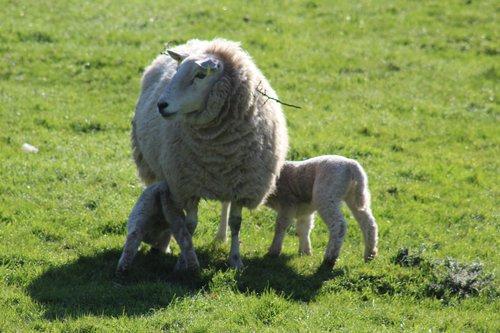 Lambs enjoying the spring sunshine