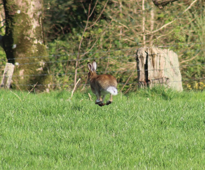 Large Hare heading for the trees