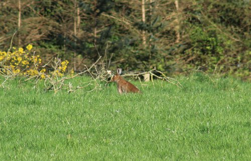 Large Hare