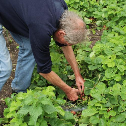 Picking Strawberries.png