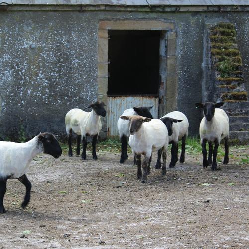 Sheared Sheep.png