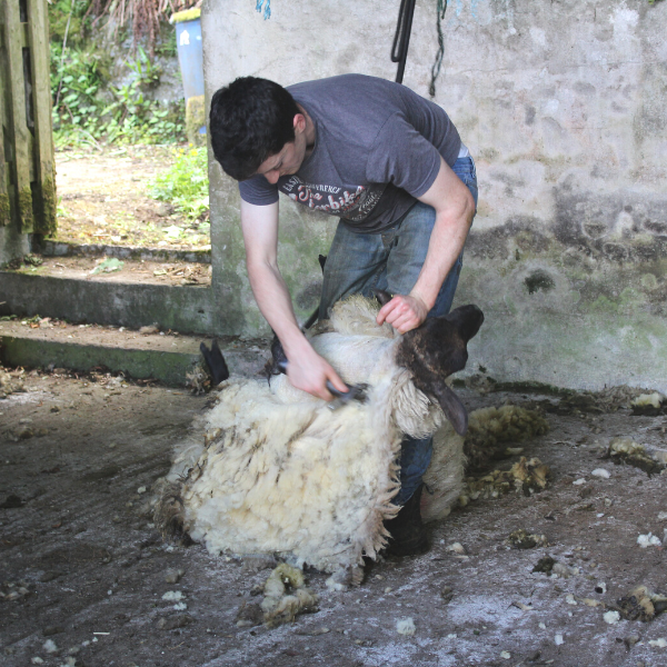 Sheep Shearing.png