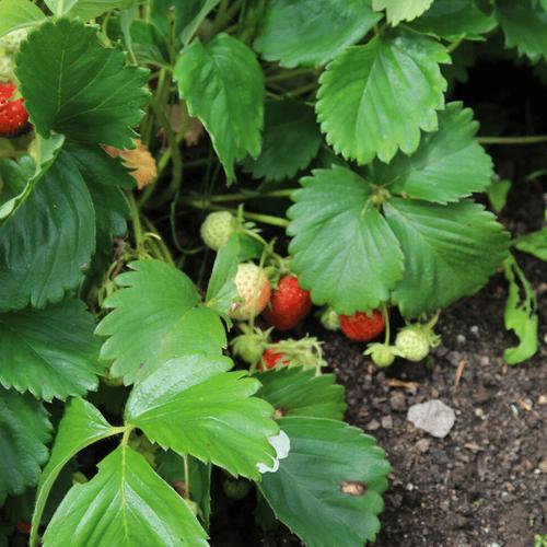 Strawberries 2.png
